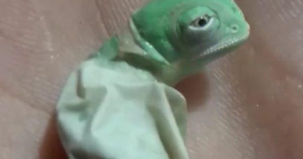 Έχετε δει ποτέ πώς γεννιέται ένας χαμαιλέοντας; Αν όχι, αυτό το βίντεο θα σας φανεί απίστευτο!