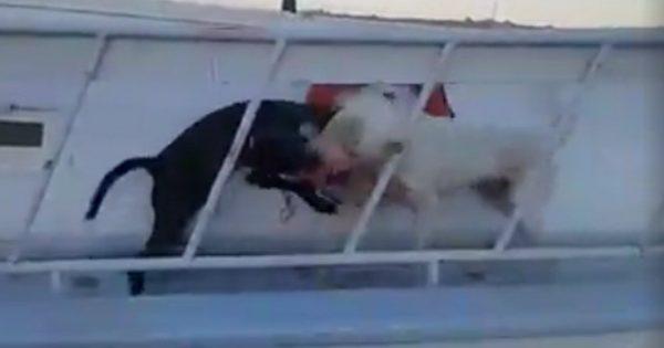 Συλλήψεις στη Ρόδο μετά από ανατριχιαστικό βίντεο κυνομαχίας