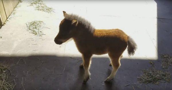 Μόλις είδε αυτό το άλογο-μινιατούρα έβγαλε αμέσως την κάμερα. Η αντίδραση του αλόγου; Θα σας φτιάξει τη μέρα!