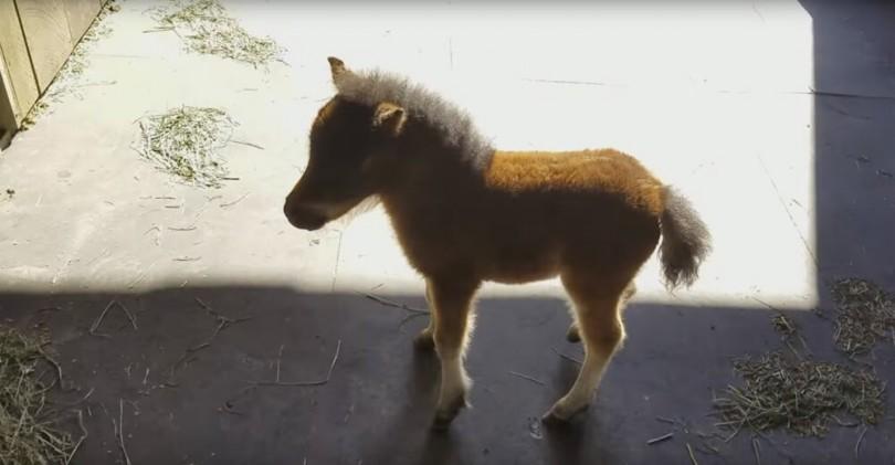 μινιατούρα άλογο