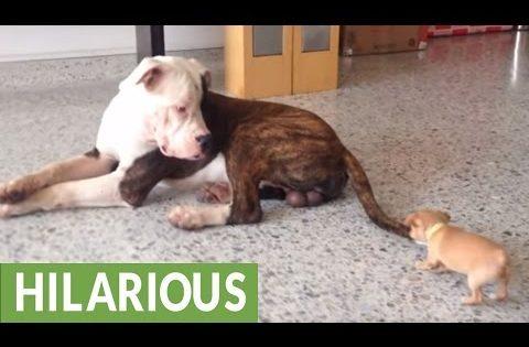 Τι γίνεται όταν ένα τσιουάουα και ένα πίτμπουλ βρίσκονται στο ίδιο δωμάτιο; (βίντεο)