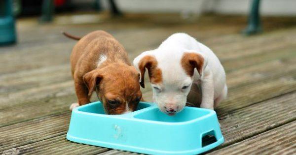 Γιατί ο σκύλος μου παίρνει τροφή από το μπολ του και την τρώει κάπου αλλού;