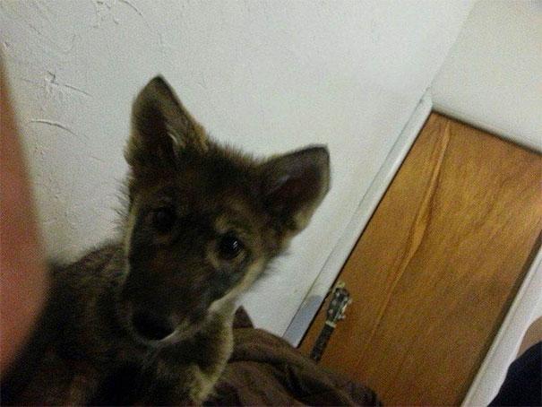 not-puppy-dog-wolf-21