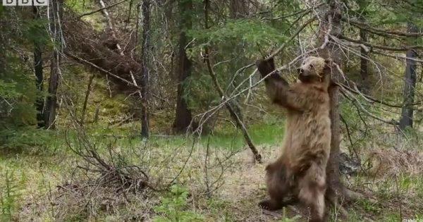 Αρκούδες ξύνονται σε δένδρα με το ιδανικό soundtrack (Video