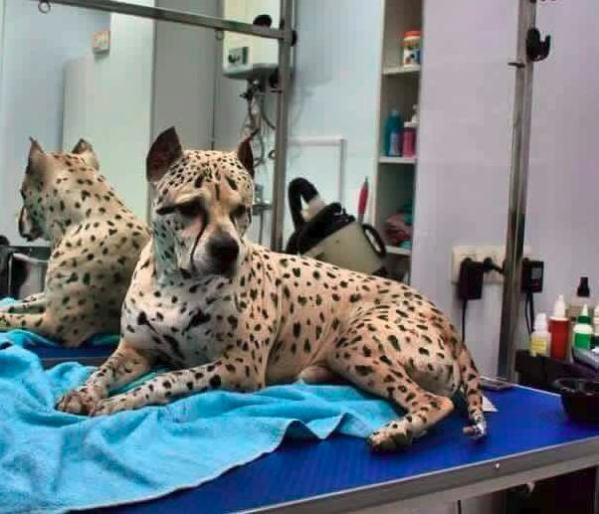 πίτμπουλ λεοπάρδαλη