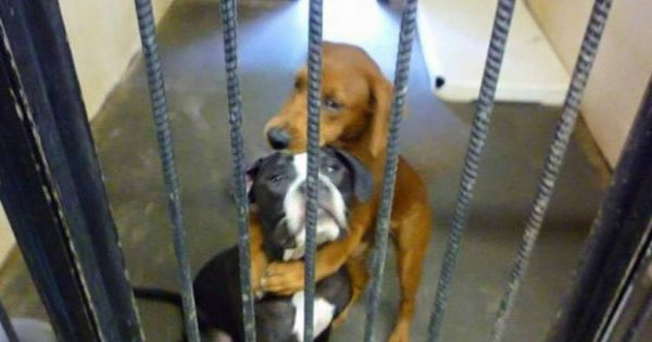 Σκύλος σε καταφύγιο ζώων σώζει τον φίλο του από την ευθανασία με μια αγκαλιά!
