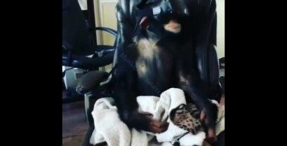 Τι συμβαίνει όταν ένας χιμπατζής δοκιμάζει κράνος εικονικής πραγματικότητας