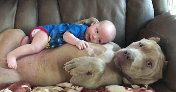 Πώς φέρεται άραγε ένα τεράστιο πιτ μπουλ στο μωρό της οικογένειας; Δείτε το βίντεο που κάνει τον γύρο του διαδικτύου!
