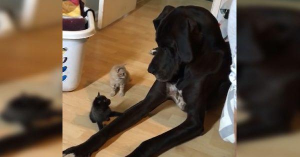 2 μικροσκοπικά γατάκια πλησιάζουν αυτόν τον τεράστιο σκύλο. Η αντίδρασή του; Θα σας φτιάξει τη μέρα!