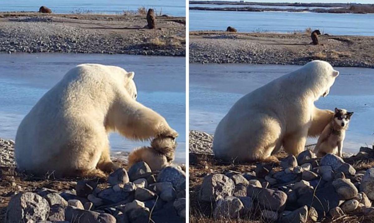 Σκύλος Πολική αρκούδα