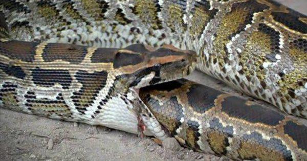 Φίδια που τα «έφαγε» η τροφή τους