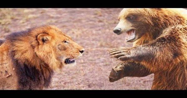 Πραγματικές μάχες ανάμεσα σε αρκούδες και λιοντάρια (βίντεο)