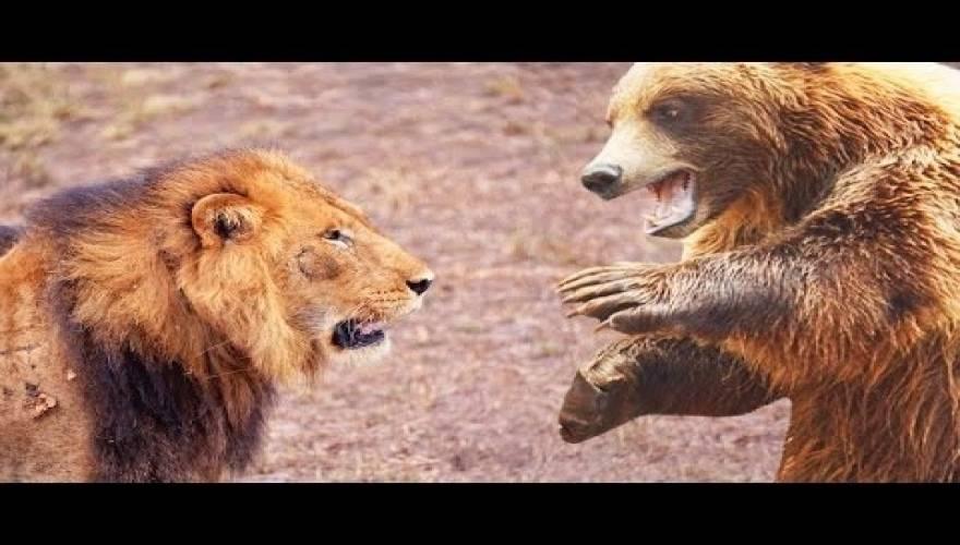 μάχες λιοντάρια αρκούδες