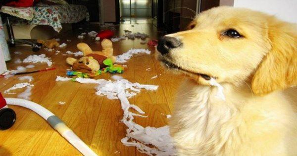 Όταν λείπει το αφεντικό και ο σκύλος … αλωνίζει μέσα στο σπίτι (φωτό, βίντεο)