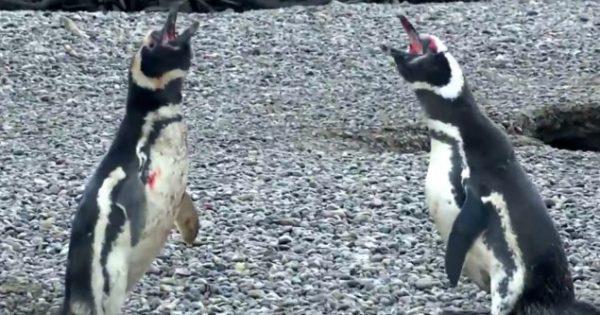 Πιγκουίνος γυρνά στη φωλιά του, βρίσκει την γυναίκα του με άλλον και χύνεται αίμα! (video)
