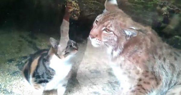 Γάτα πέφτει σε κλουβί άγριου λύγκα & όλοι Φοβούνται ότι θα την κατασπαράξει. Η αντίδρασή του όμως είναι ακόμη πιο αναπάντεχη!
