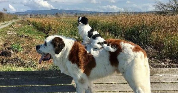 Τεράστιος σκύλος κουβαλάει μαζί του τον μικροσκοπικό φίλο του όπου και να πάει!
