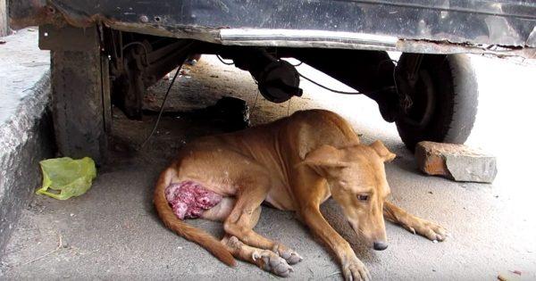 Αδέσποτο σκυλί βρέθηκε σε άθλια κατάσταση με έναν τεράστιο καρκινικό όγκο να «κρέμεται» από το σώμα του, μόλις του έδειξαν αγάπη και φροντίδα συνέβη το «θαύμα»