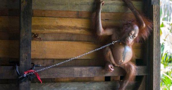Κακοποιημένο μωρό ουραγκοτάγκος αφήνεται ελεύθερος μετά από 6 χρόνια που τον είχαν αλυσοδεμένο σε έναν τοίχο