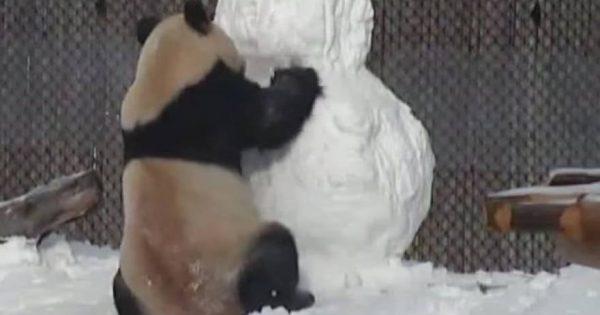 Η μάχη ενός Πάντα με ένα … χιονάνθρωπο – Το βίντεο που έγινε δημοφιλές