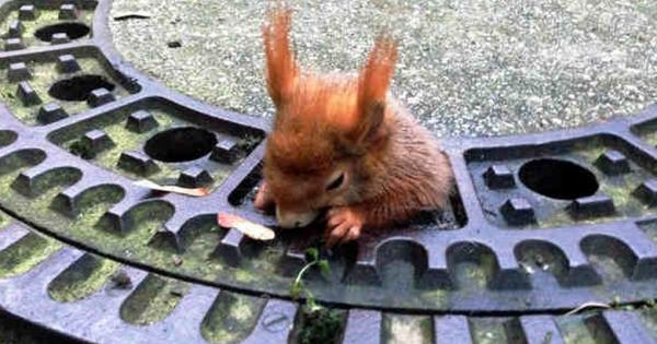 Παχουλός σκίουρος κόλλησε σε φρεάτιο και η εικόνα θα σας λιώσει