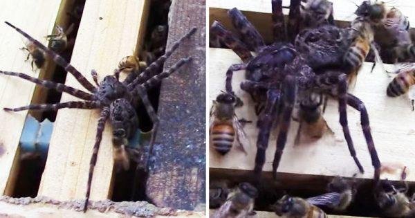 Η αράχνη εισέβαλε στη κυψέλη για να φάει το μέλι… Μεγάλο λάθος! Δείτε τι της έκαναν οι μέλισσες!