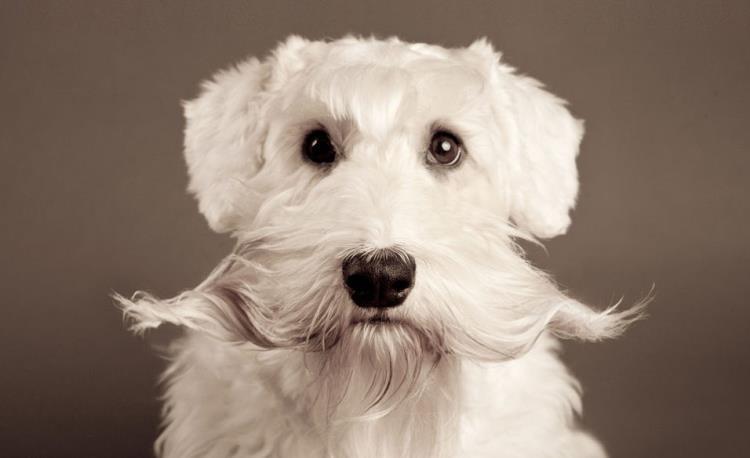 τρίχωμα Σκύλος περιποίηση μουστάκια