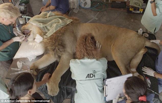 τσίρκο λιοντάρι