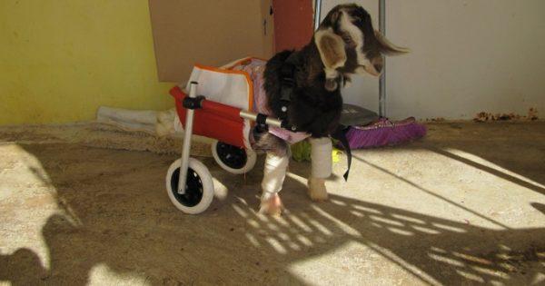 Με αναπηρικό αμαξίδιο το παράλυτο κατσικάκι κάνει βόλτες και απολαμβάνει τη νέα του ζωή