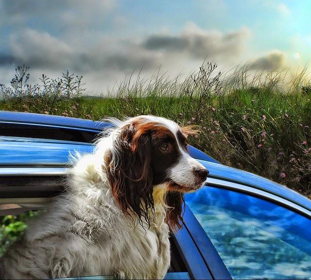 Σκύλος βόλτα με αυτοκίνητο βόλτα αυτοκίνητο