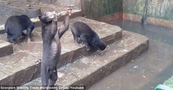 Βίντεο: Σκελετωμένα αρκουδάκια σε ζωολογικό κήπο ικετεύουν τους επισκέπτες για λίγο φαγητό