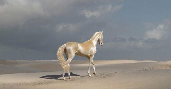 Το σπάνιο άλογο που κάποιοι αποκαλούν το ωραιότερο στον κόσμο. Μοιάζει σαν να είναι καλυμμένο με χρυσάφι
