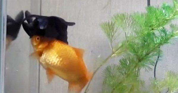 Χρυσόψαρο βοηθάει τον σκούρο άρρωστο φίλο του να κολυμπήσει και να φάει