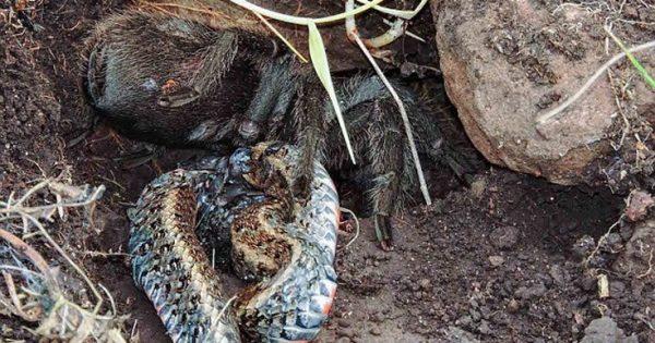 Ταραντούλα καταβροχθίζει φίδι