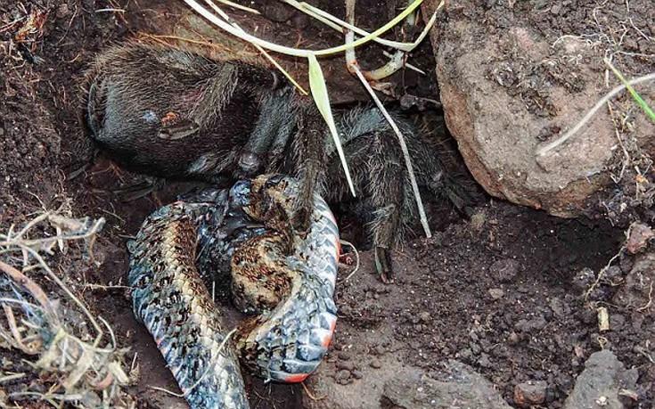 φίδι ταραντούλα