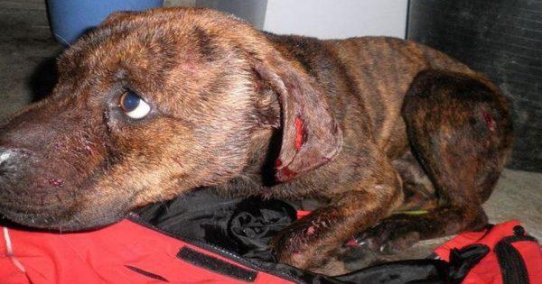 «Αρένες θανάτου»: Ποια είναι η μαφία των κυνομαχιών – Όλη η αλήθεια για την κακοποίηση των σκύλων (ΣΚΛΗΡΕΣ ΕΙΚΟΝΕΣ)