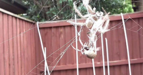 Επική μάχη ανάμεσα στις δύο πιο επικίνδυνες αράχνες της Αυστραλίας! (video)