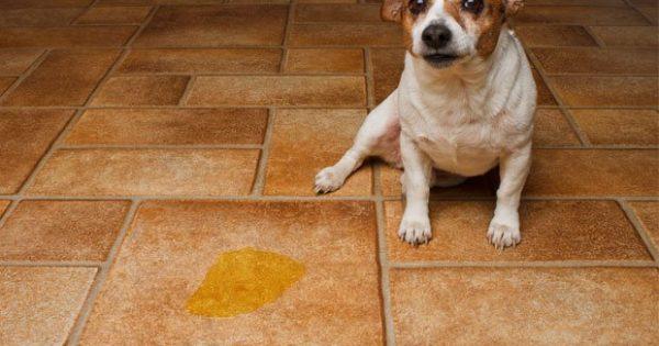 Ο ενήλικος σκύλος μου λερώνει ξαφνικά μέσα στο σπίτι – Τι να κάνω;