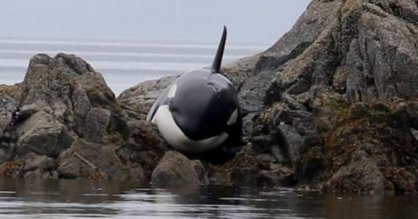 Φάλαινα είχε κολλήσει για ώρες σε βράχια και έκλαιγε μέχρι να τη βρουν οι διασώστες