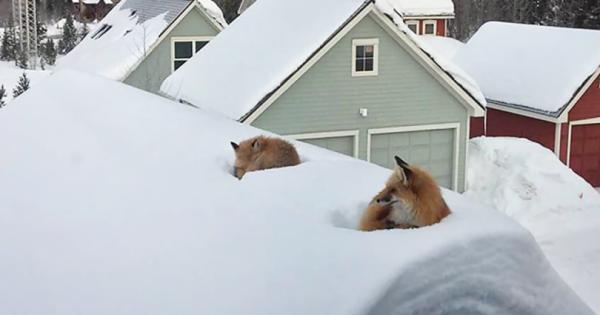 Έμεινε έκπληκτος όταν είδε 2 αλεπούδες πάνω στην σκεπή του. Όταν όμως κατάλαβε ΠΩΣ ανέβηκαν εκεί, έμεινε άφωνος!