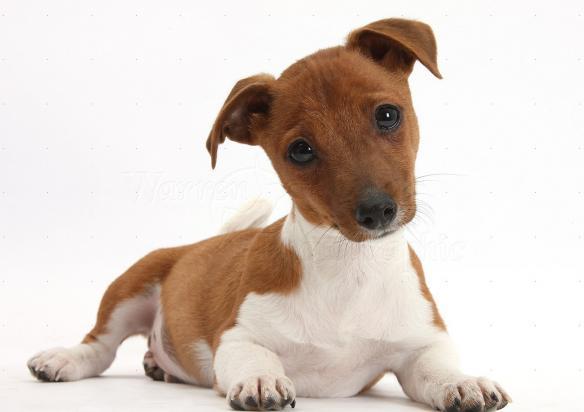 Σκύλος σκυλιά ημίαιμος σκύλος ημίαιμα σκυλιά