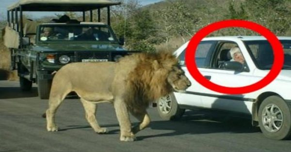 Αυτό το λιοντάρι δίνει ένα γερό μάθημα στους τουρίστες! (βίντεο)
