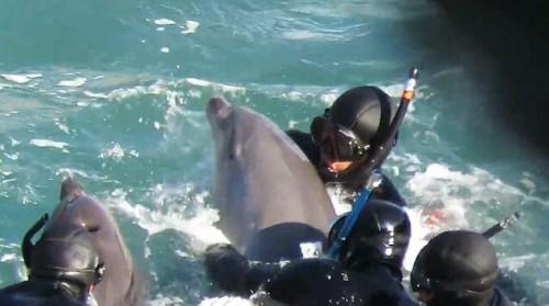 Πανικόβλητο δελφίνι προσπαθεί να σώσει το μωρό του από τους δύτες στο αιματηρό κυνήγι στη θάλασσα του Ταϊτζί