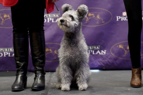 φυλές σκύλων ράτσες σκύλων νέες ράτσες ΗΠΑ άτριχο τεριέ Sloughi Pumi