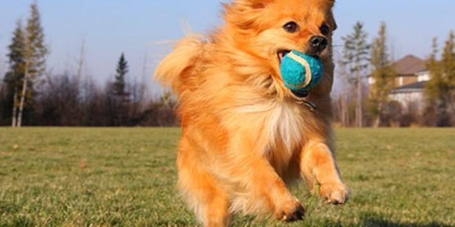 Σκύλος μπαλάκι
