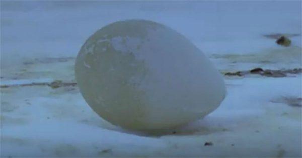 Κοιτάζουν το αυγό στο έδαφος… Δείτε τι γίνεται όταν αρχίζει να εκκολάπτεται! [Βίντεο]