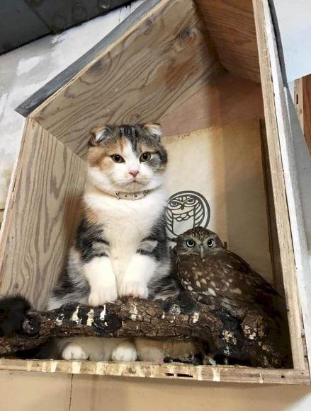 κουκουβάγια Γάτα