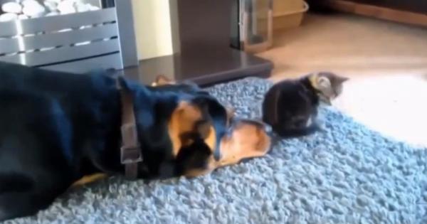 Ο σκύλος πλησιάζει πισώπλατα το γατάκι… Η συνέχεια; Θα σας κάνει να λιώσετε!