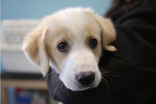 υιοθεσία σκύλου κουτάβι