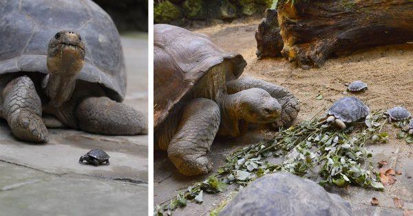 Πελώρια Χελώνα, ηλικίας 80 ετών, έγινε για ΠΡΩΤΗ ΦΟΡΑ Μαμά και Σόκαρε τους Εργαζόμενους του Ζωολογικού Κήπου με τα 9 Αυγά της!